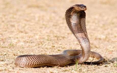 dangerous king cobra