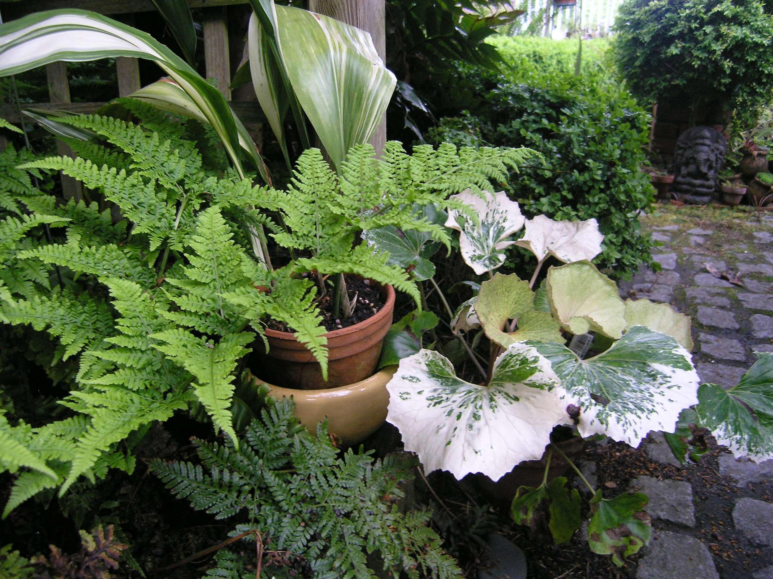 Farfugium japonicum 'Argentea'