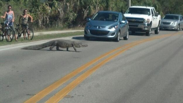 Gator crossing street