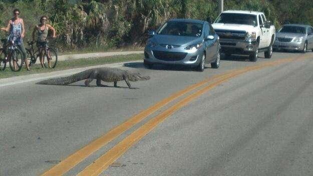 Gator crossing street