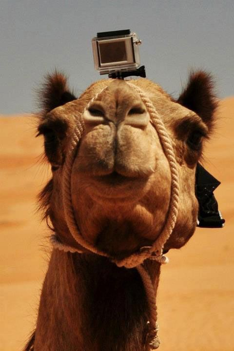 A GoPro Camera mounted on the head of a camel