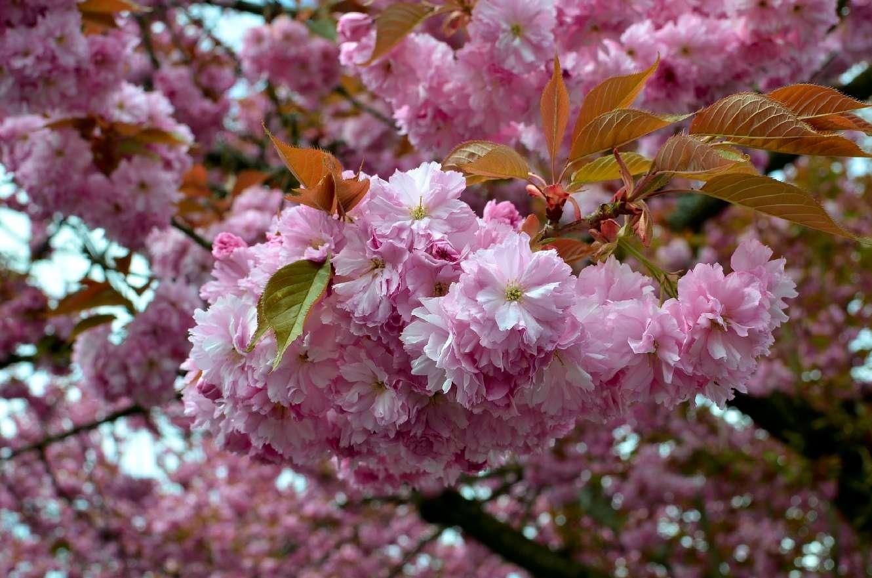 [Image: cherry2h.jpg]