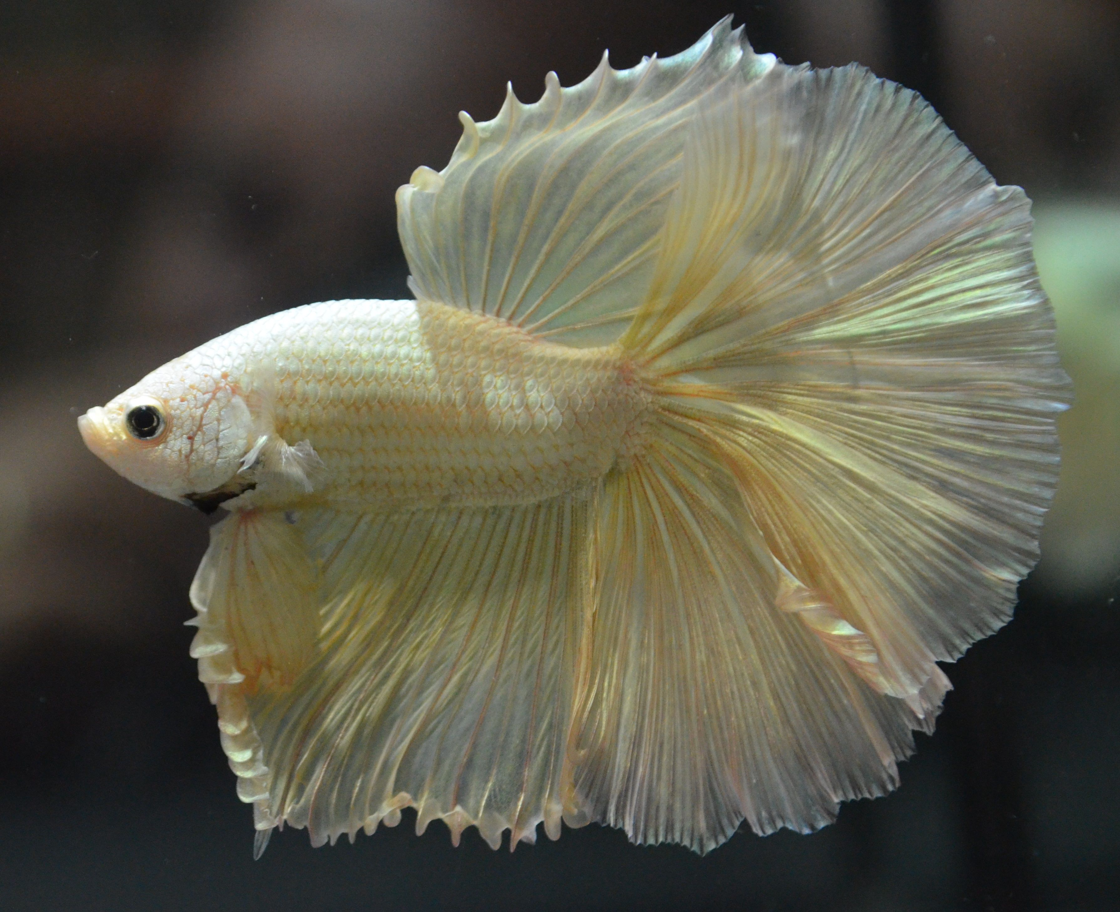 Live betta fish solid gold huge fins over halfmoon show for Solid gold fish