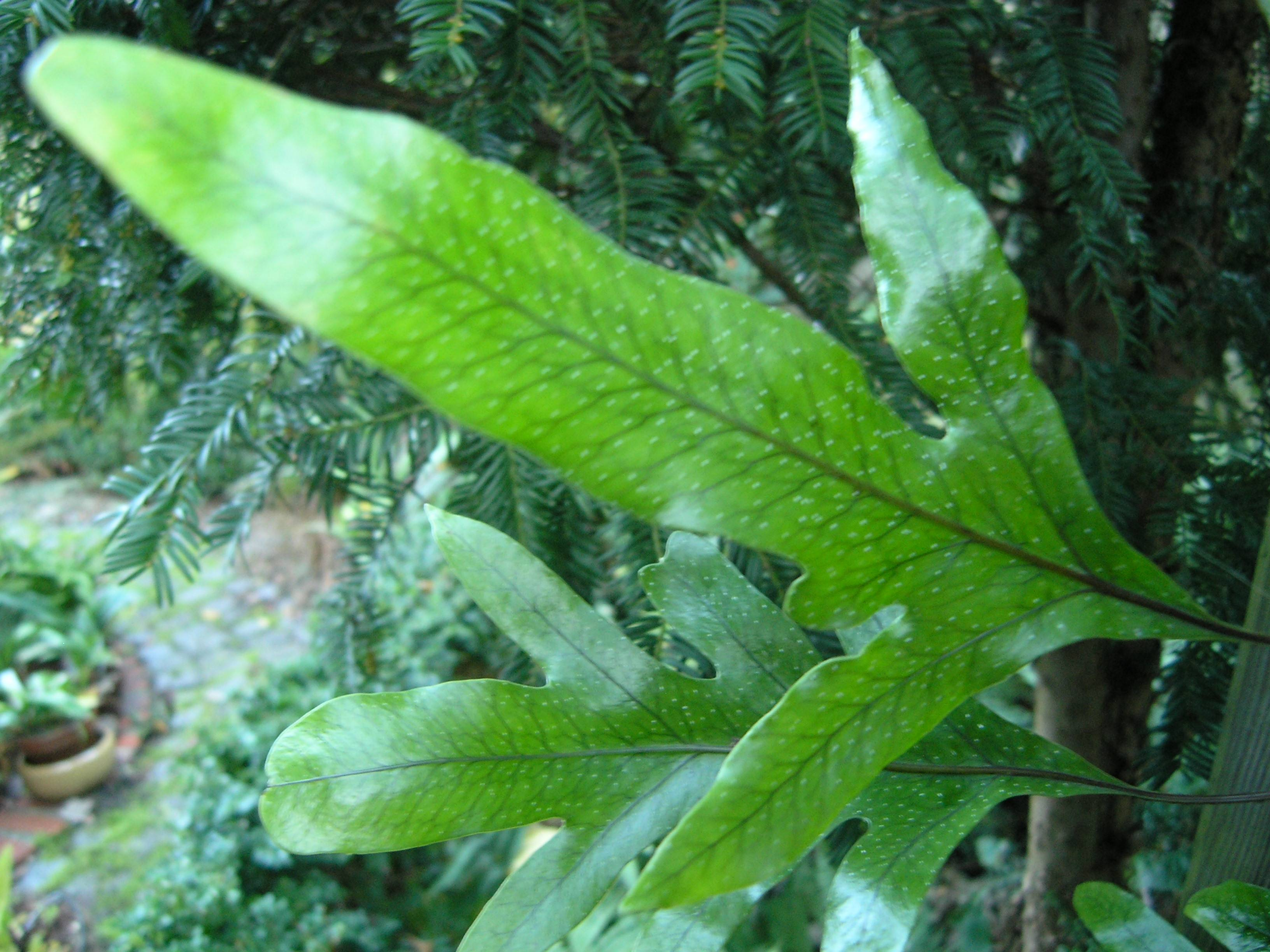 Microsorum pustulatum