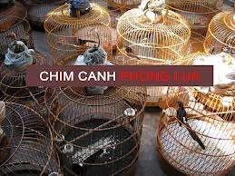 PHONG LỬA - Chuyên mua bán chim chích chòe lửa ! - 5