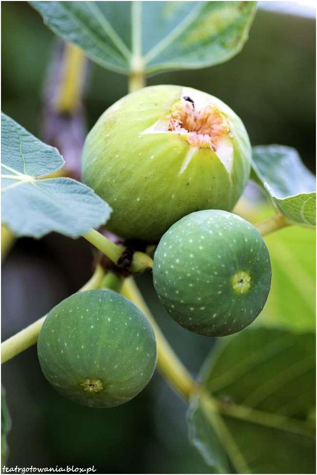 figi, drzewo figowe