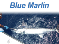 Blue Marlin