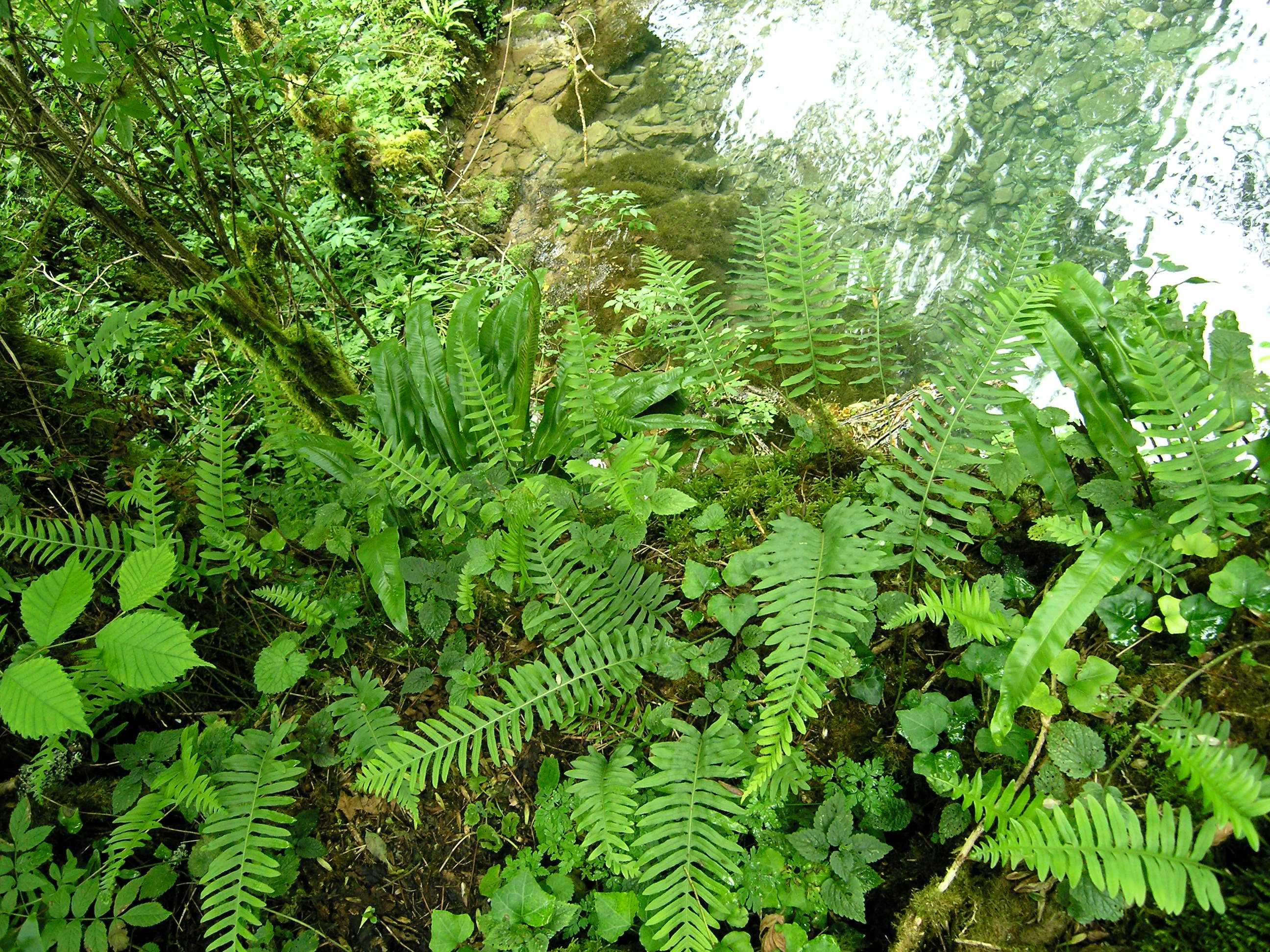 Asplenium scolopendrium et Polypodium vulgare
