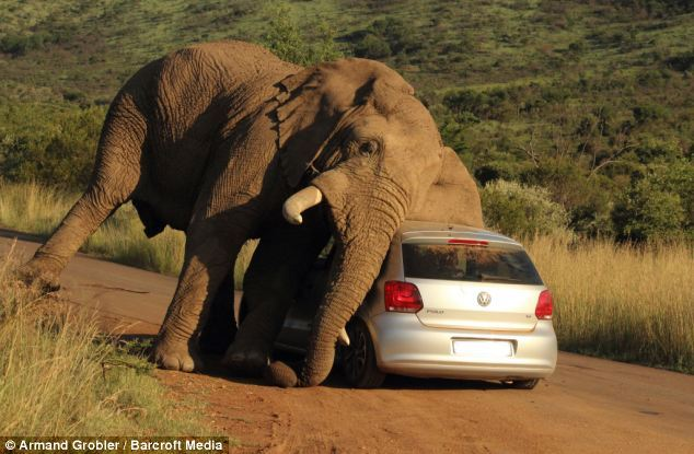 Elephant during musth smashes car in South Africa