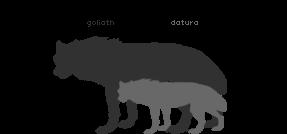 Goliath and Datura