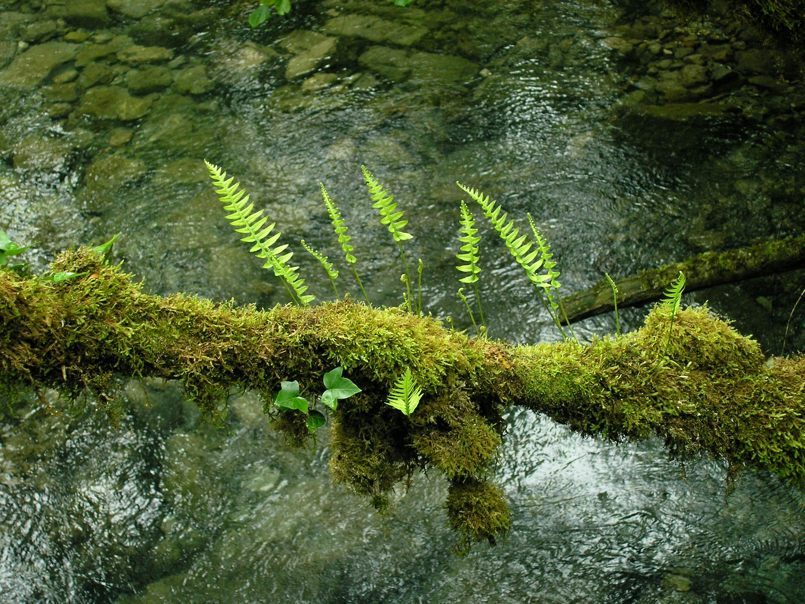 Polypodium vulgare épiphyte
