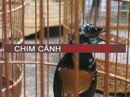PHONG LỬA - Chuyên mua bán chim chích chòe lửa ! - 7