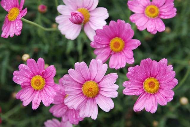 Pink Flowers - Rosa Margeriten im Regen