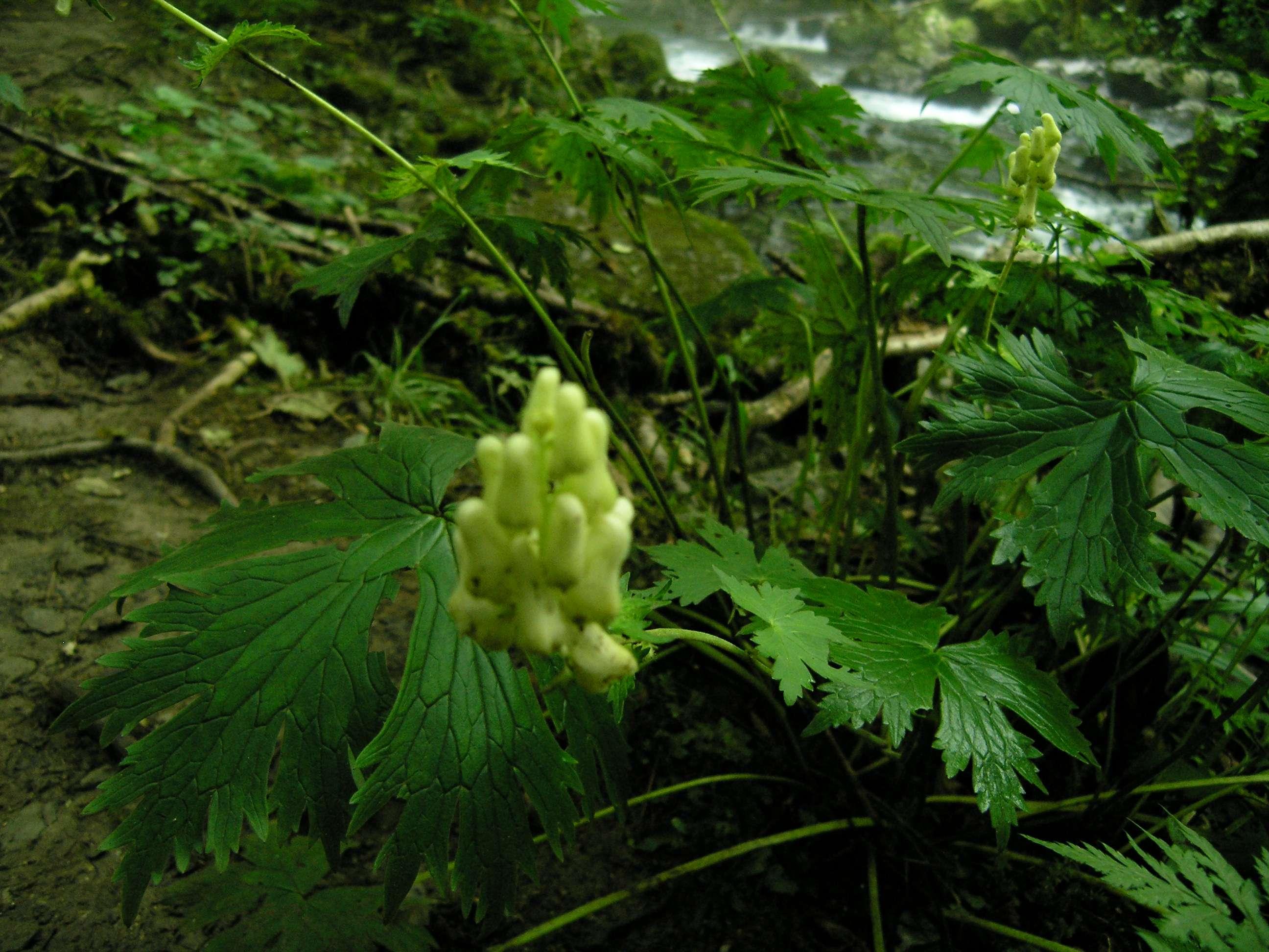 Aconitum lycoctonum subsp; vulparia