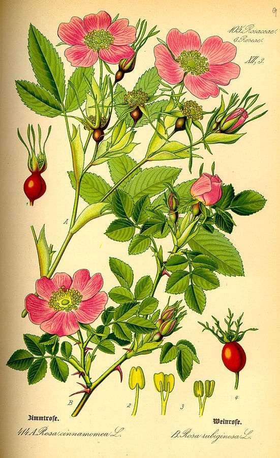 grabado de rosa mosqueta
