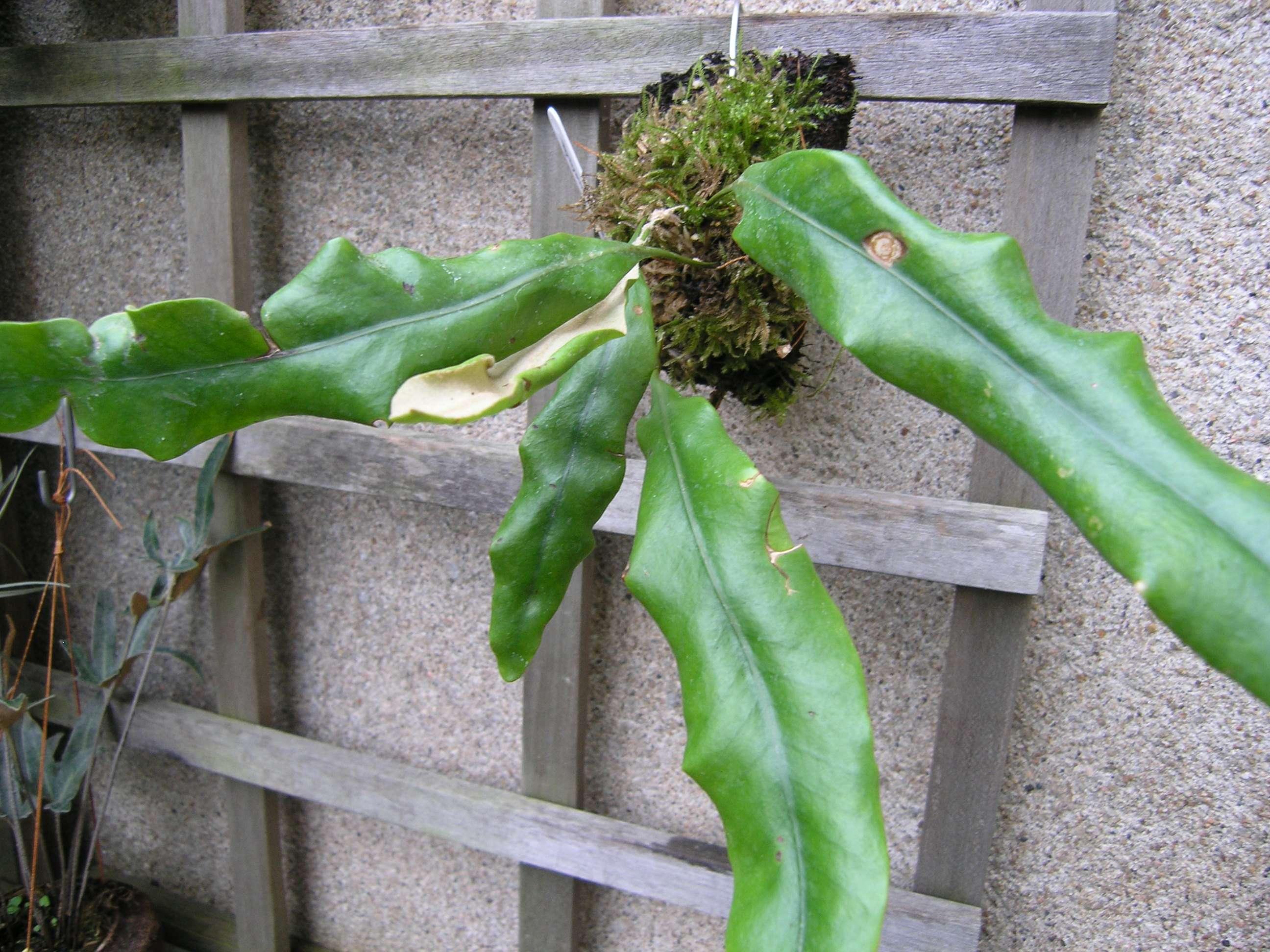 Pyrrosia angustata