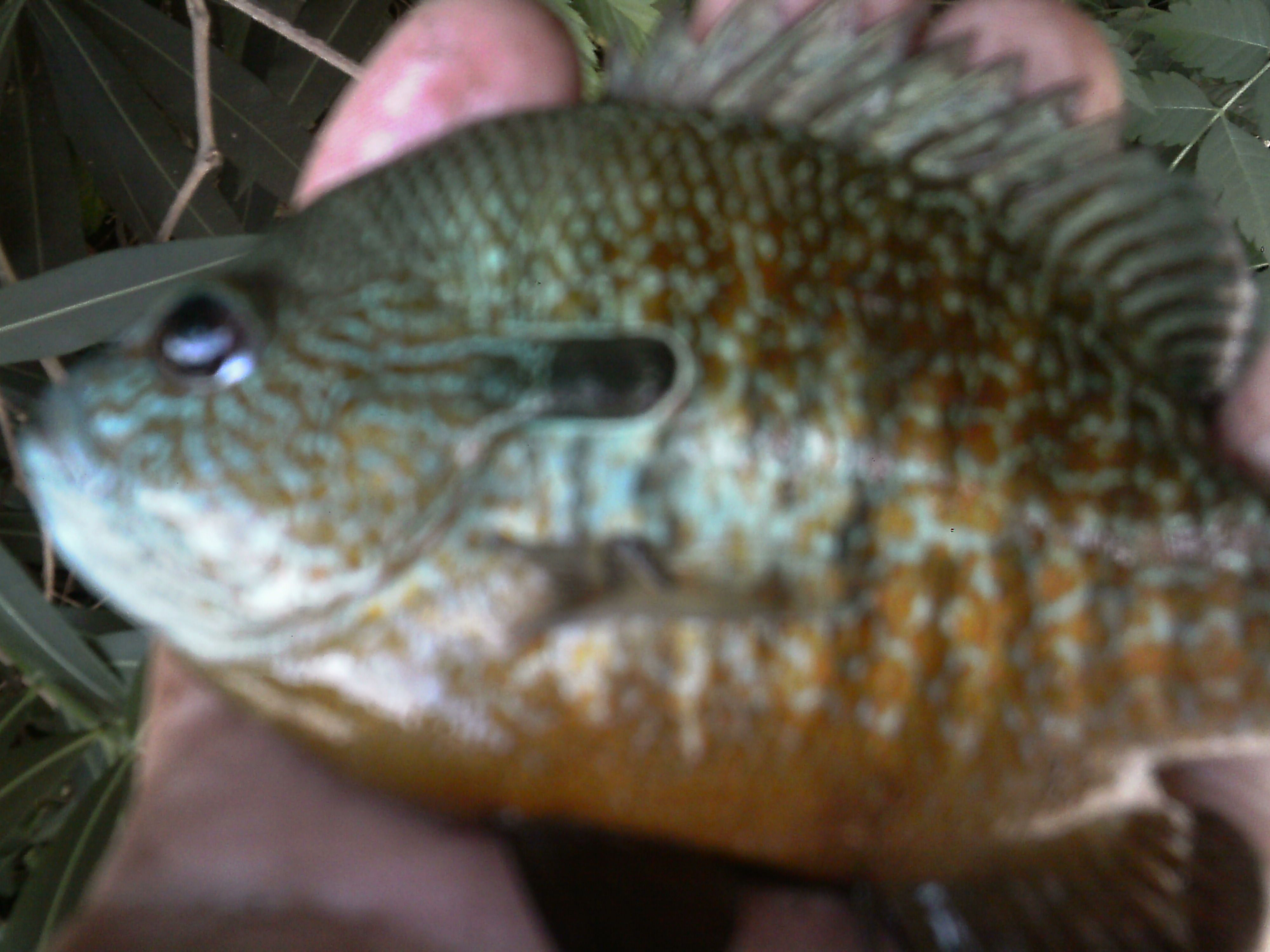 Really had to work for em bluegill sunfish texas for Lake mcqueeney fishing