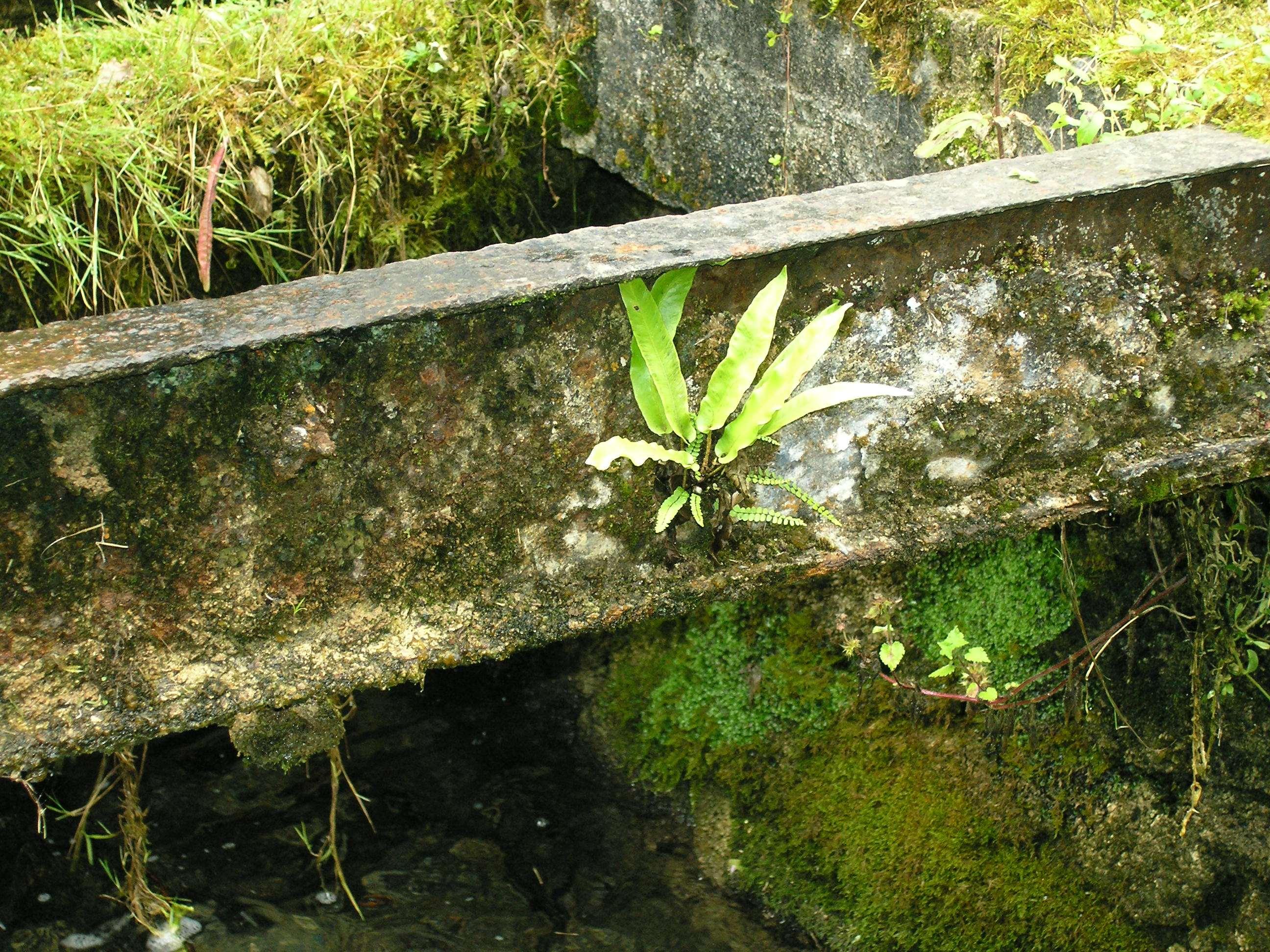 Asplenium scolopendrium épiphyte