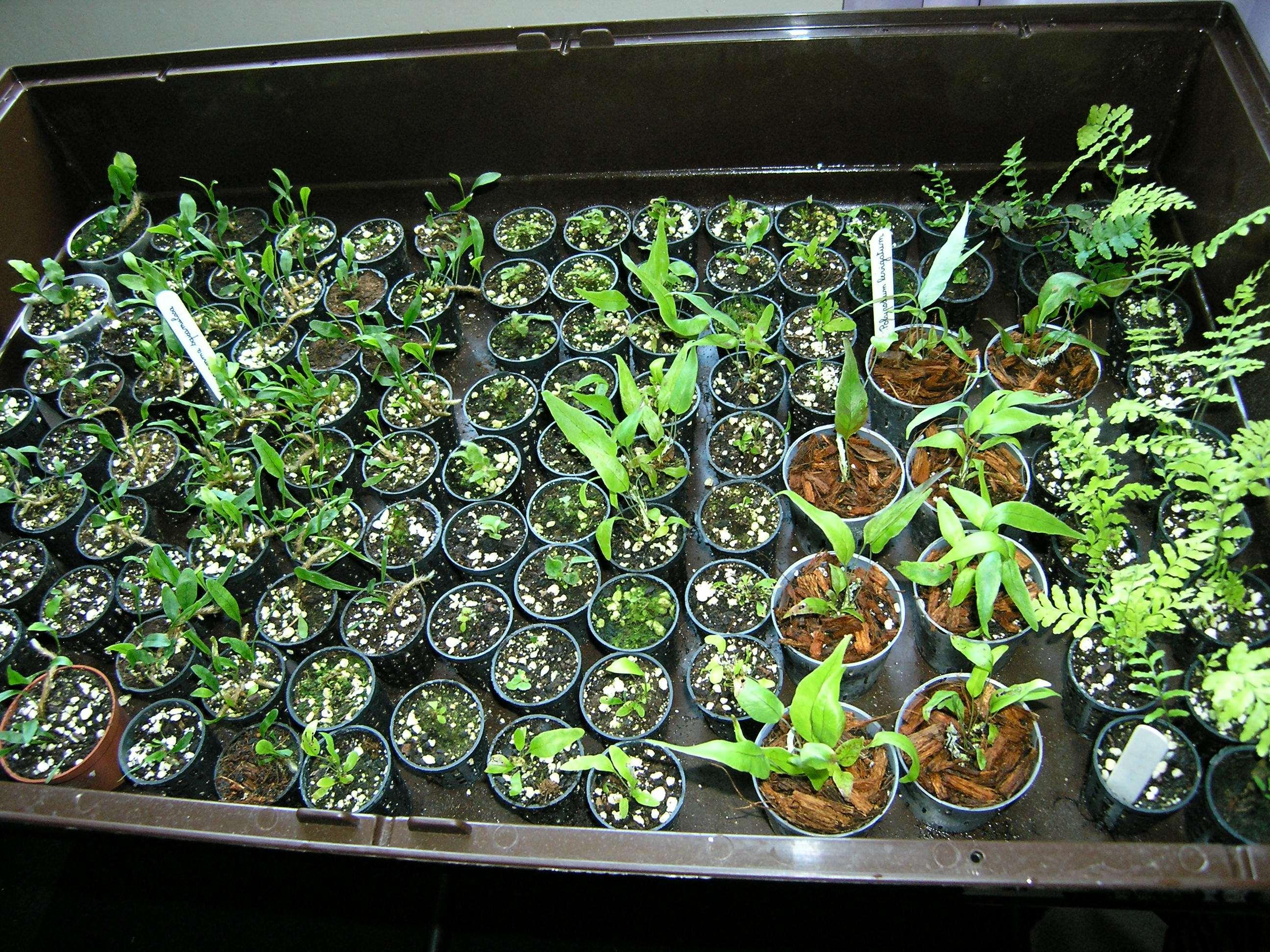 Semis de spores