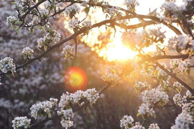 Sonnenuntergang Birnenbaum Blüten Frühling