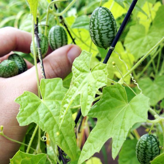 Cucamelon 10 semi mini cetriolo messico insalate aperitivo - Rampicanti a crescita rapida ...