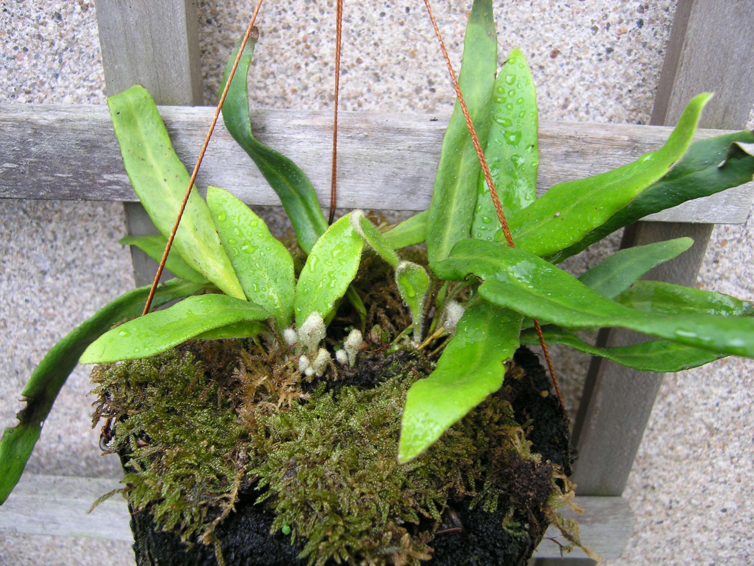Pyrrosia linearifolia 'Iwadare hitotsuba'