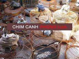 PHONG LỬA - Chuyên mua bán chim chích chòe lửa ! - 6