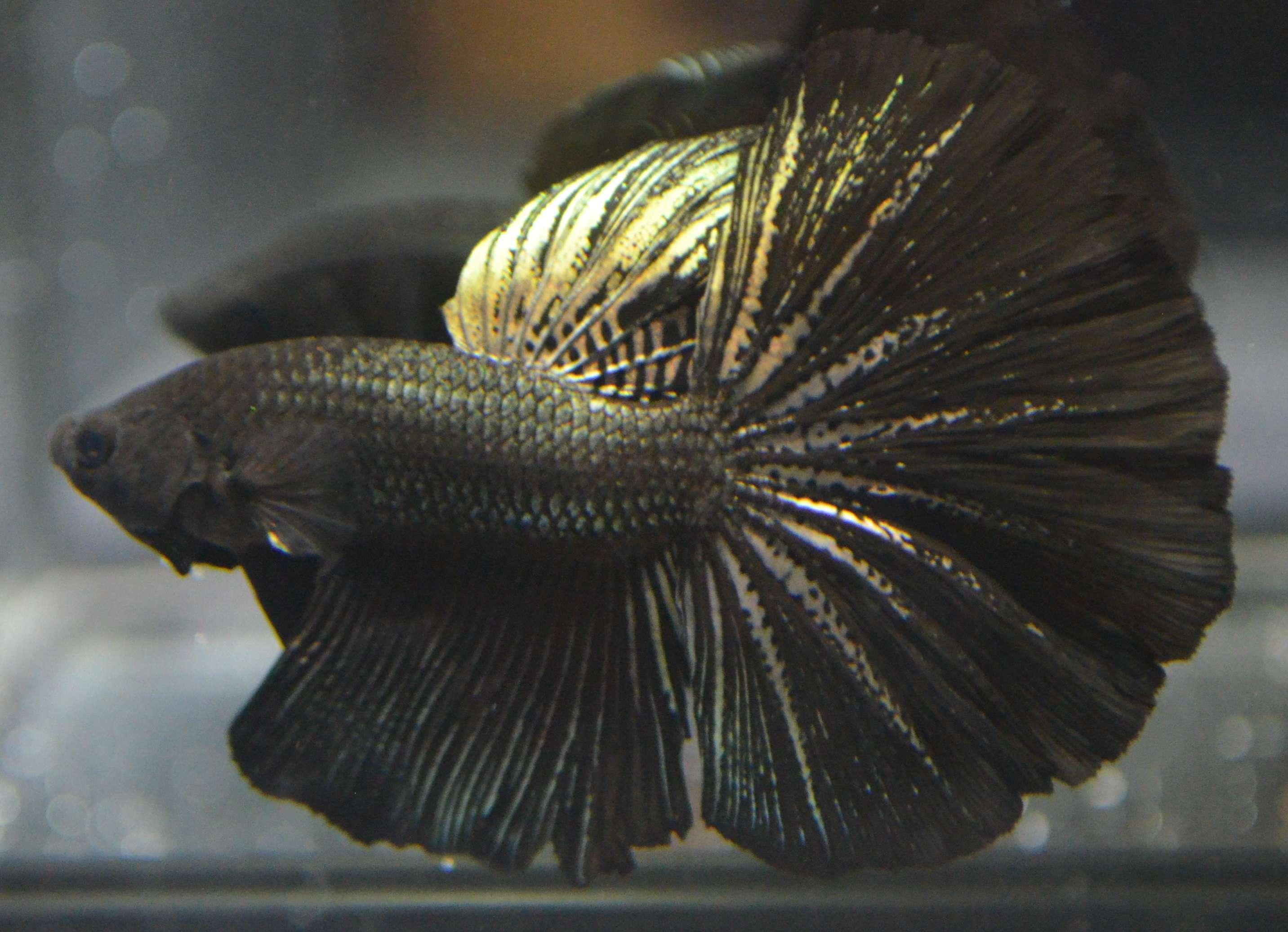 Live betta fish super rare black copper halfmoon male for Rare types of betta fish
