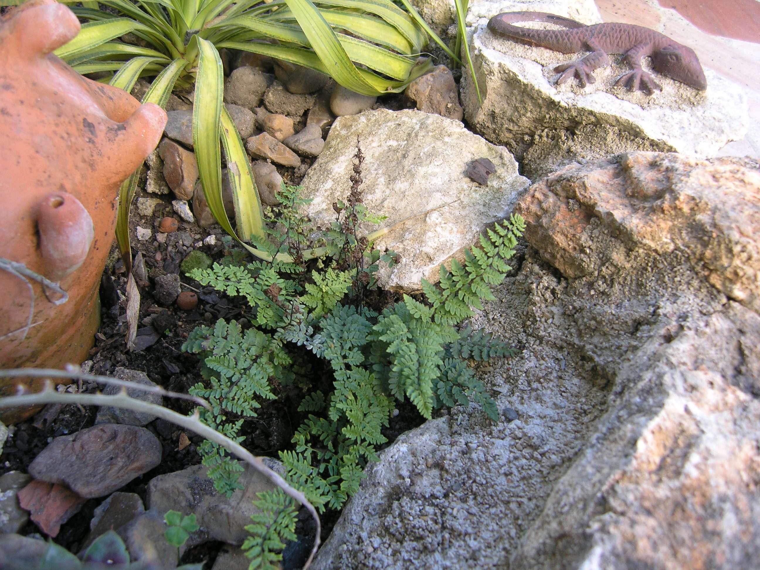 Cheilanthes alabamensis