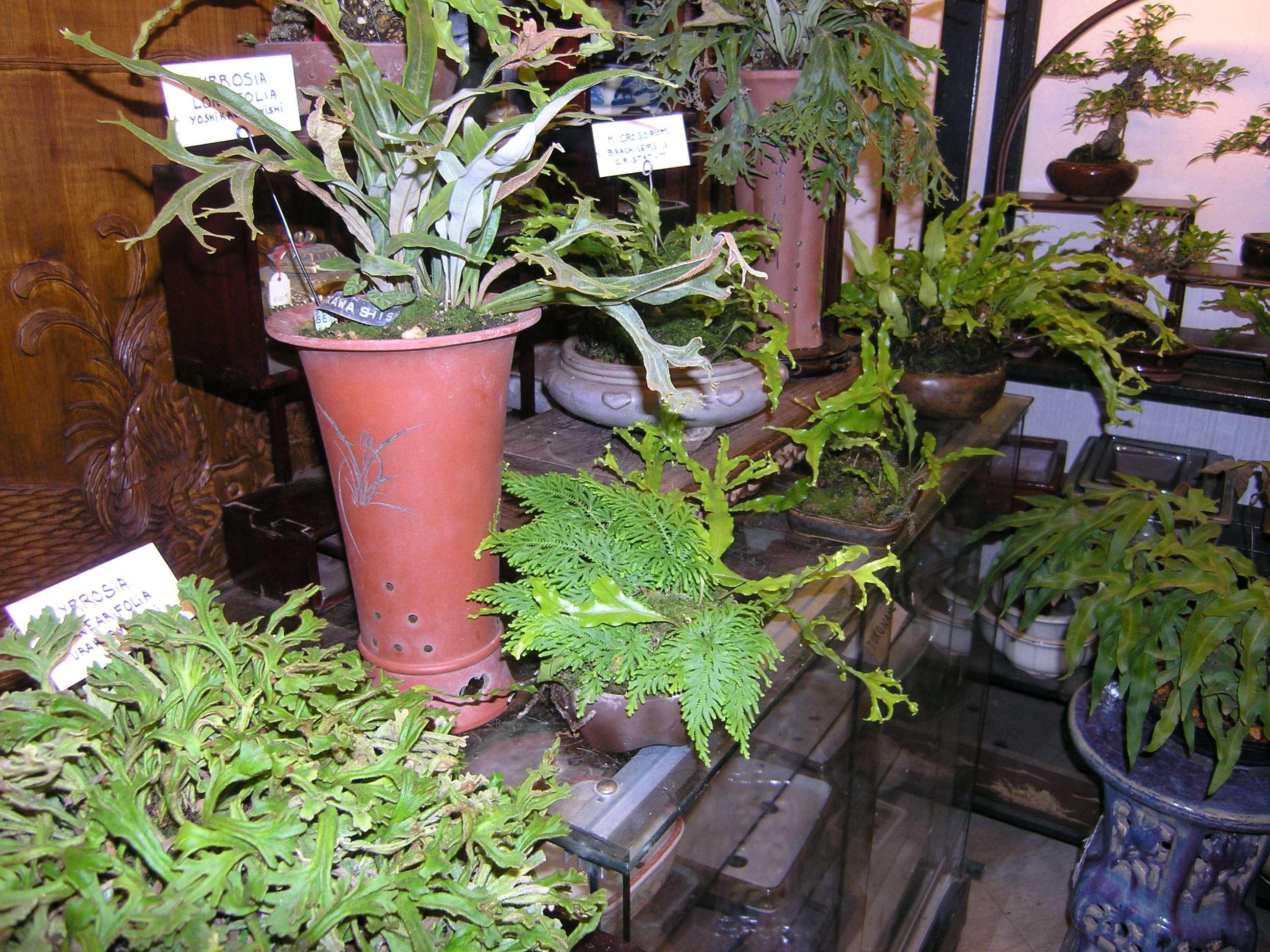 Pyrrosia longifolia