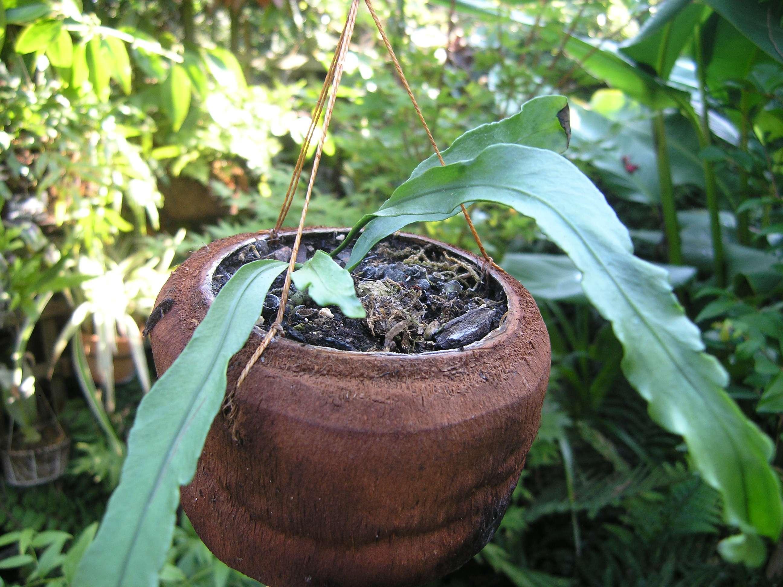 Microsorum punctatum 'whisker crested'