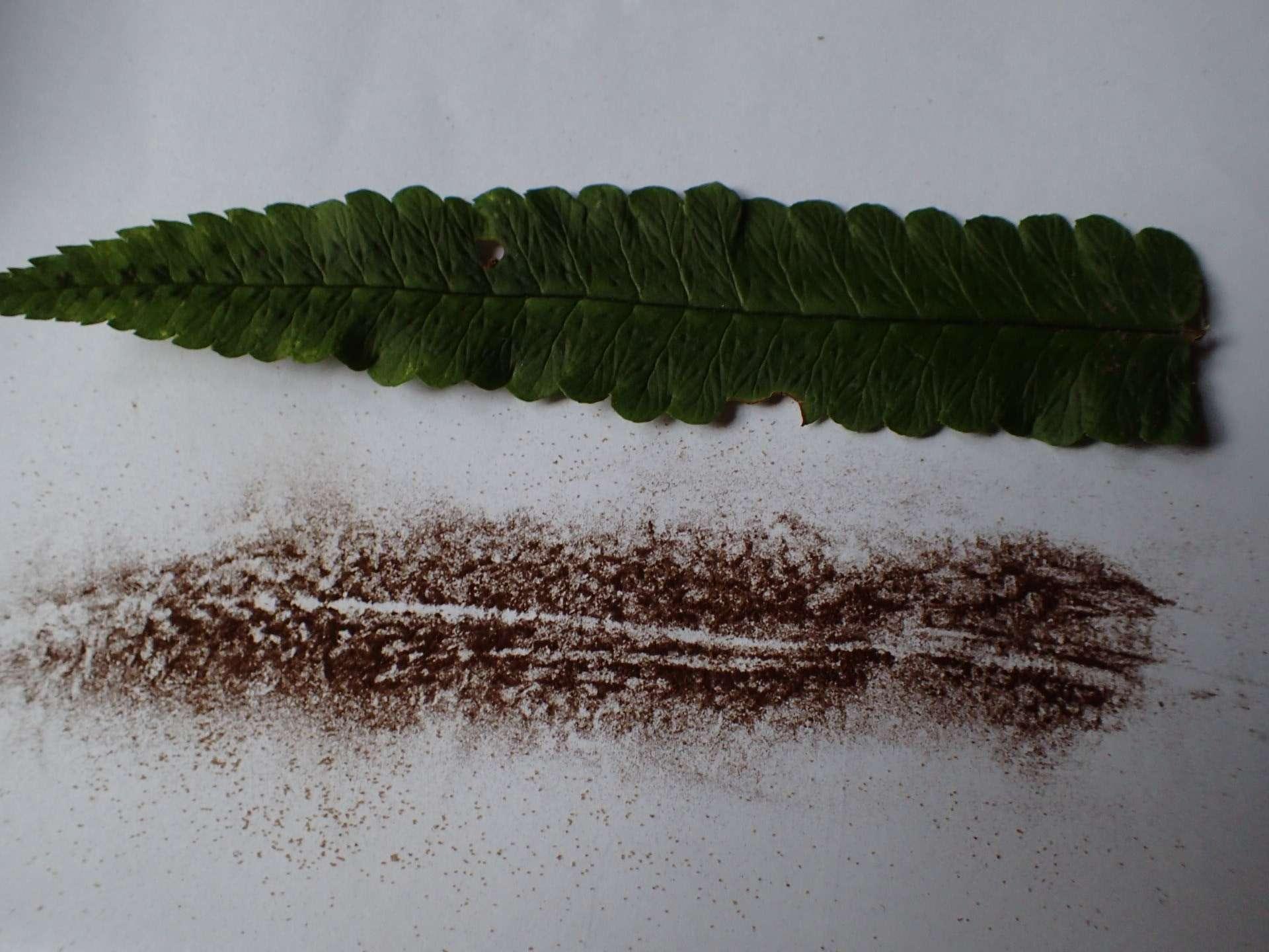 la collecte des spores