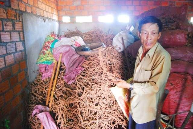 Gia Lai: Bất thường việc thương lái thu gom, mua bán rễ tiêu chết - Ảnh 2