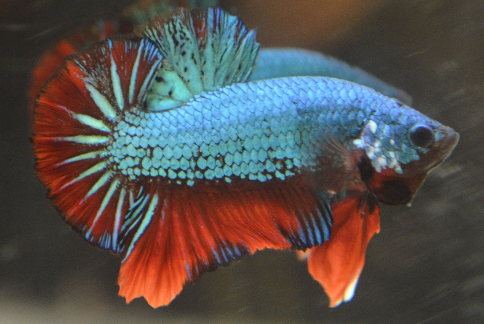 Live betta fish awesome green dragon male mirror dragon for Betta fish mirror