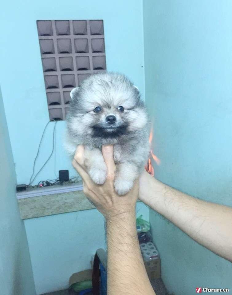 Chó phóc sóc ( pomeranian) - Chuyên bán và nhập - 7