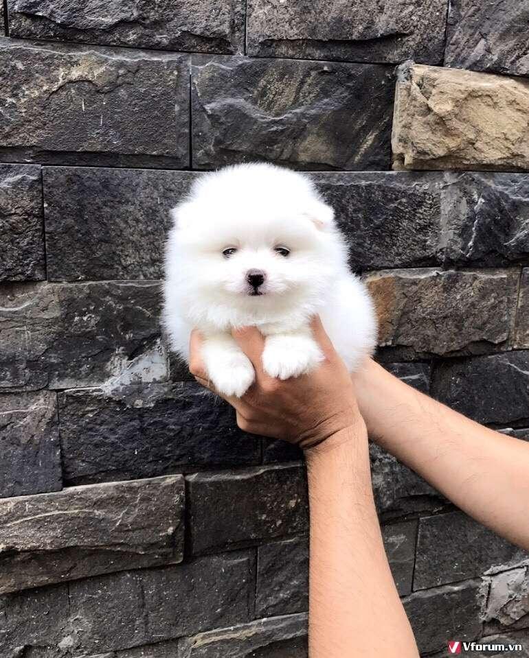 Chó phóc sóc ( pomeranian) - Chuyên bán và nhập - 2
