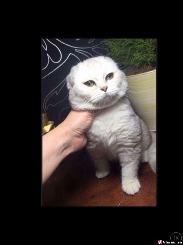 Nhận đặt gạch đàn mèo Scottish tai cụp, silver tappy, bicolor - 12
