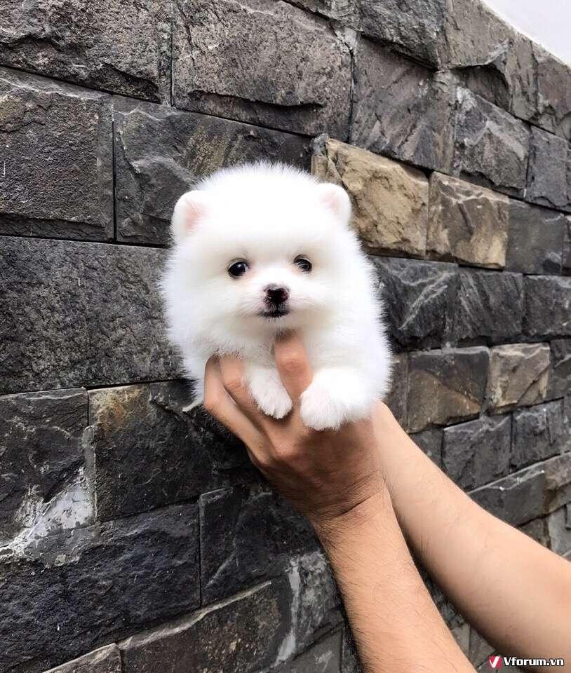 Chó phóc sóc ( pomeranian) - Chuyên bán và nhập - 3