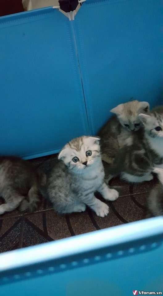 Nhận đặt gạch đàn mèo Scottish tai cụp, silver tappy, bicolor - 11