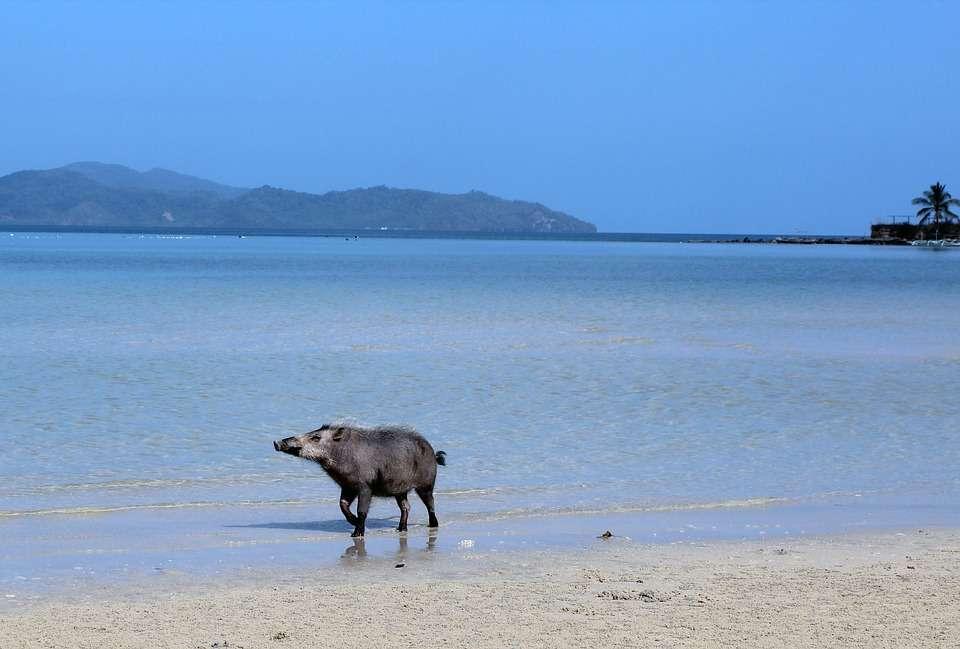 Cochon sur la plage