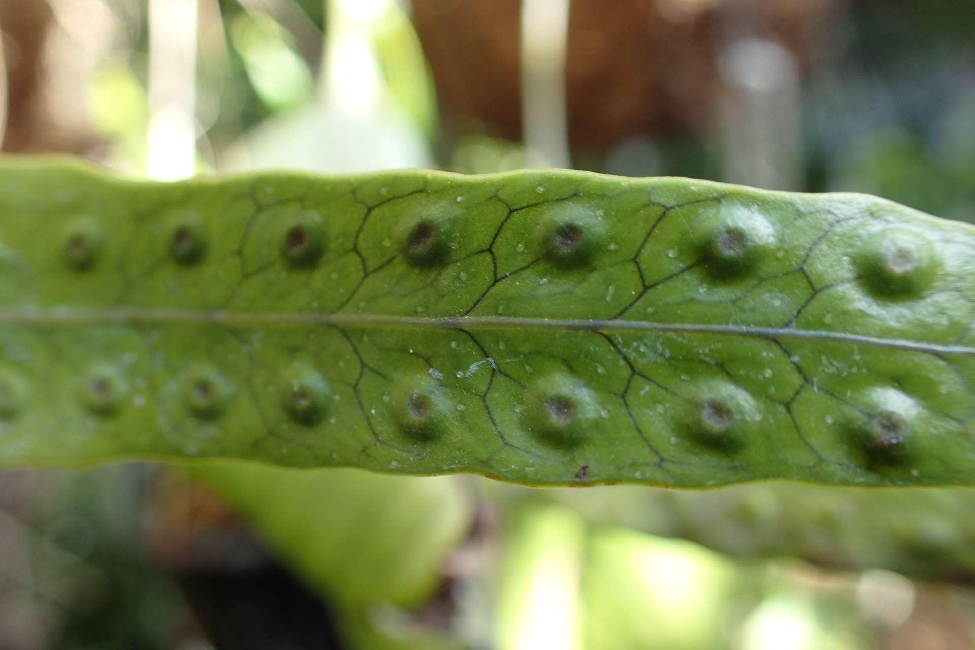 Phymatosorus diversifolius