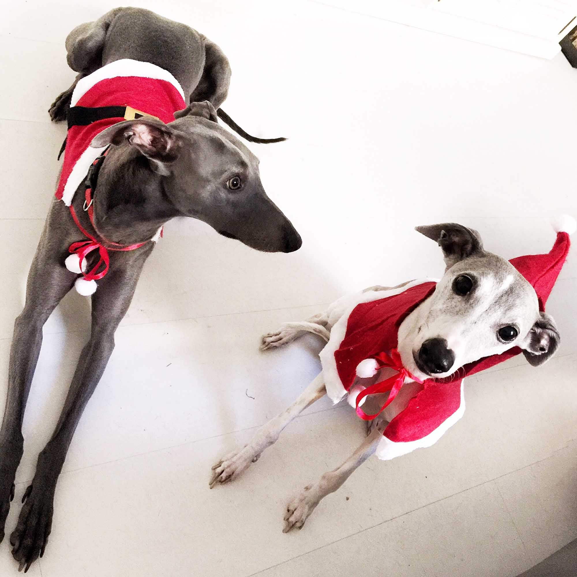 Whippets Christmas