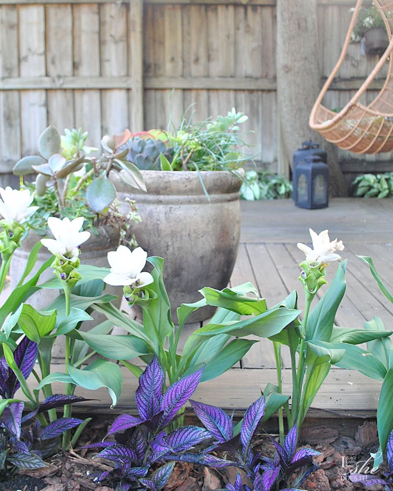 Persian Shield and Carcuma Ginger plants