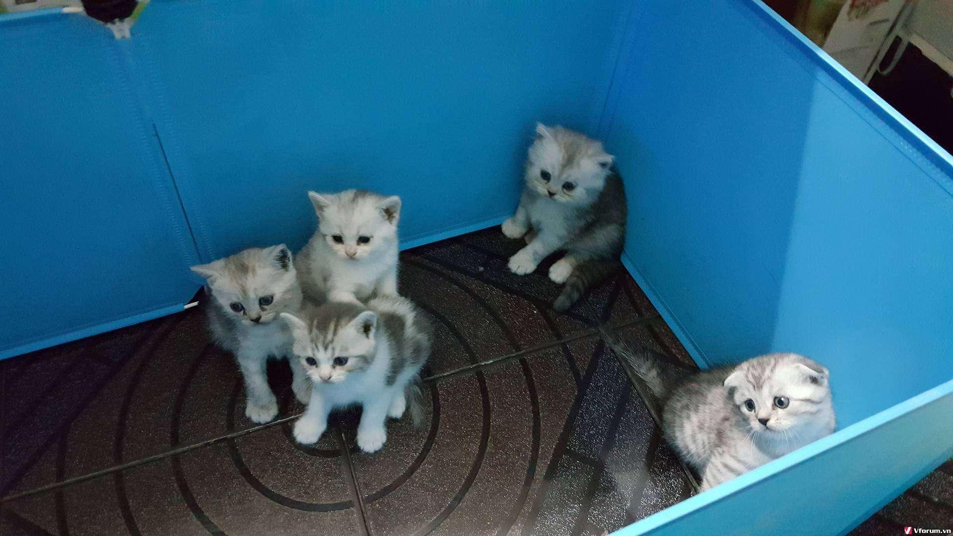 Nhận đặt gạch đàn mèo Scottish tai cụp, silver tappy, bicolor - 9