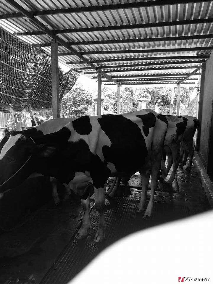 Sữa bò Củ Chi Tâm Thuận 100% Nguyên Chất 20k - 2