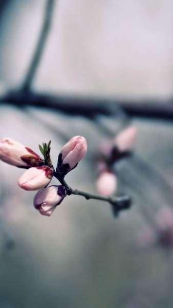 hoa đào đẹp cho điện thoại