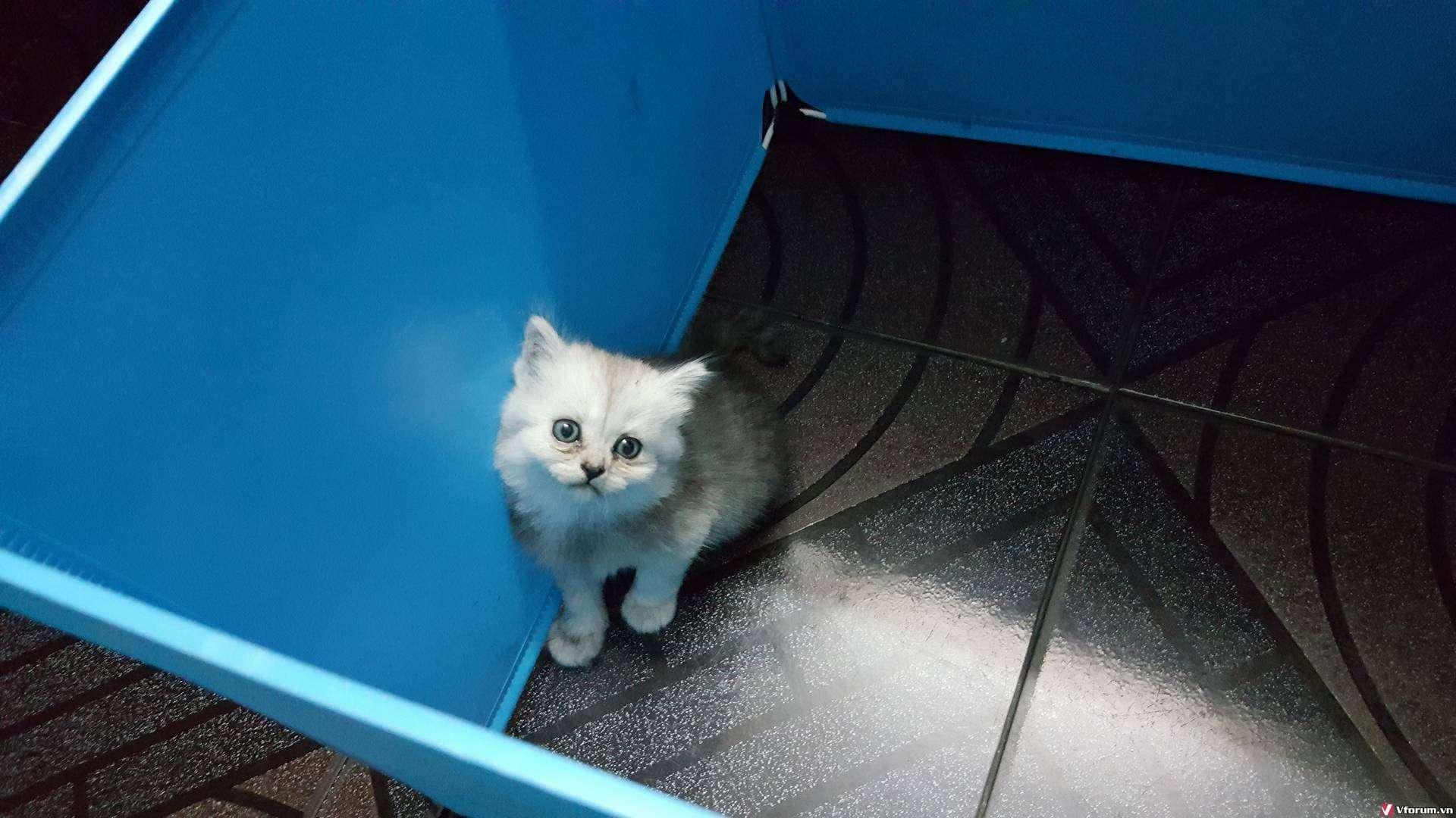 Nhận đặt gạch đàn mèo Scottish tai cụp, silver tappy, bicolor - 10