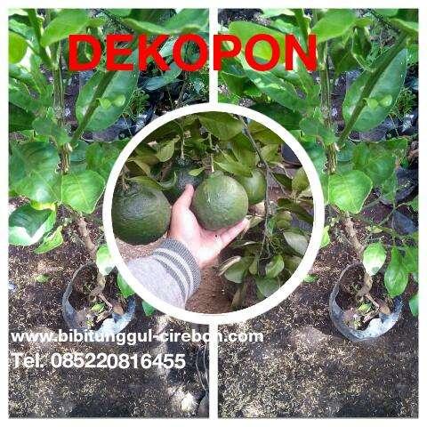 Jeruk Dekopon, Tabulampot, Menjual bibit jeruk dekopon, Cirebon