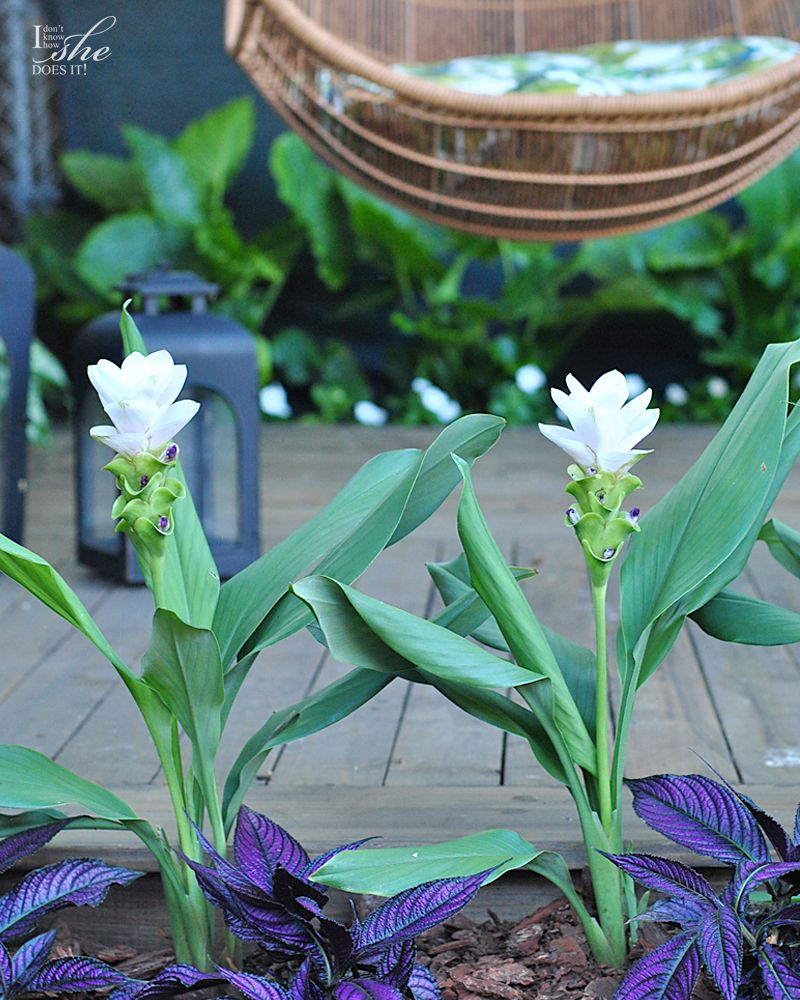 Carcuma Ginger plant for shaded area