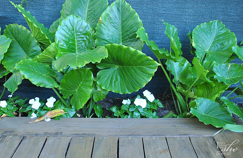 Alocasia plant for shaded area